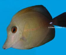 Brown Sailfin Tang