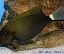 Freckle Faced Tang