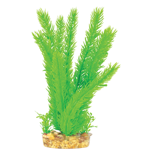 Mizo Ceratophyllum