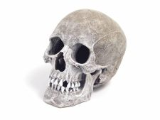 Blue Ribbon Life-Like Human Skull (11 x 17 x 14cm)