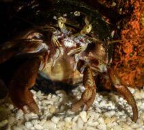 Hermit Crab 080118 Edited