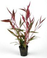 Alternanthera Roseafolia