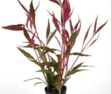 Alternanthera reineckii (var. rosaefolia)