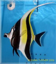 Moorish Idol Fish Maidenhead Aquatics