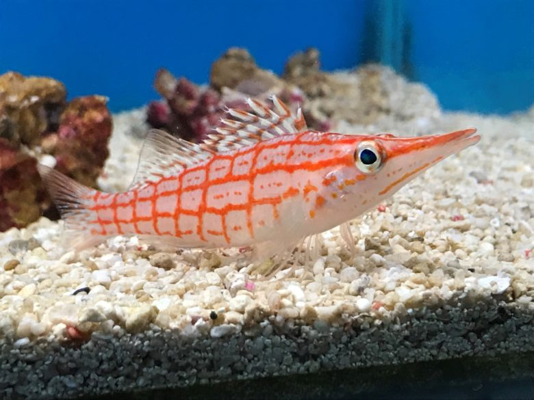 Hawkfish Windsor