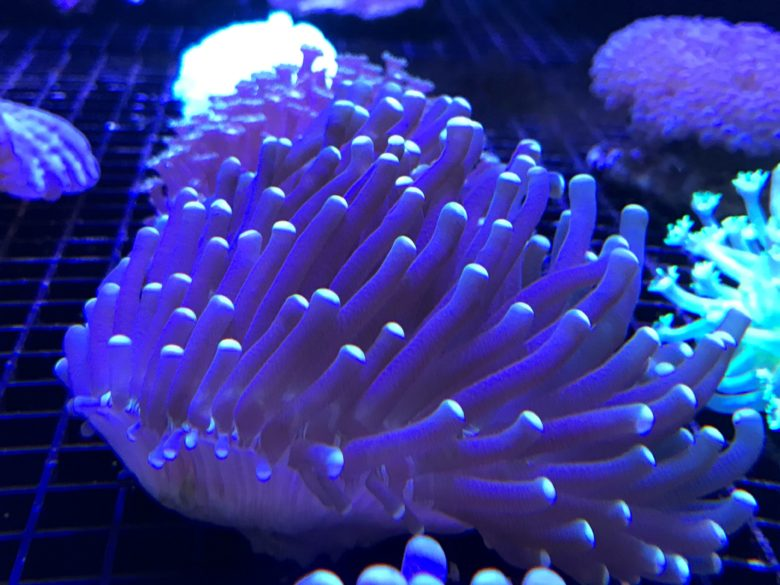 Long Tentical Plated Coral