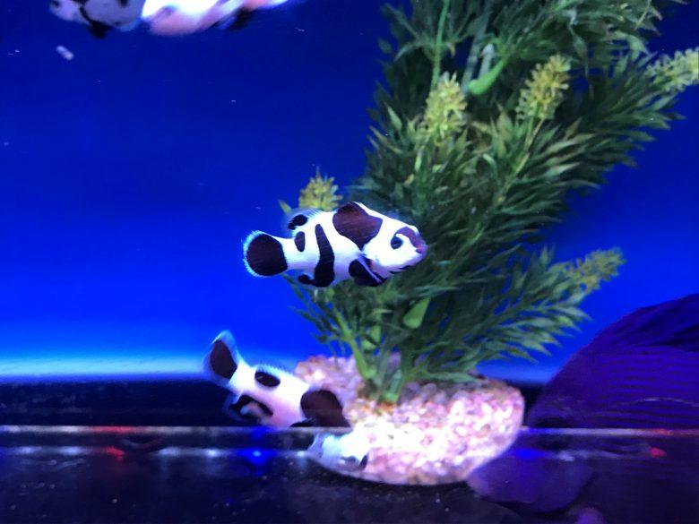 Moo Moo Clownfish