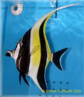 Moorish Idol Fish Maidenhead Aquatics