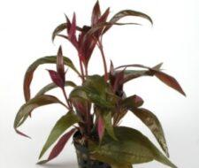 Alternanthera reineckii (var. lilacina)