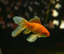 Keeping Goldfish 101