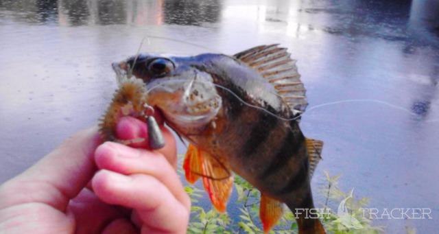 Отчет о рыбалке 31.05.2016 Окунь