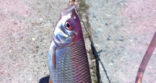 Со спиннингом за мирной рыбой