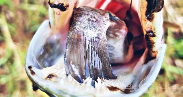 Ужение щуки на поплавочную снасть!