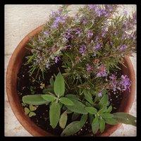 Salvia-img-5