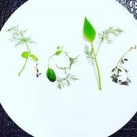 Salvia-img-10