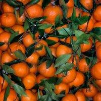 Mandarino tardivo di Ciaculli-img-1