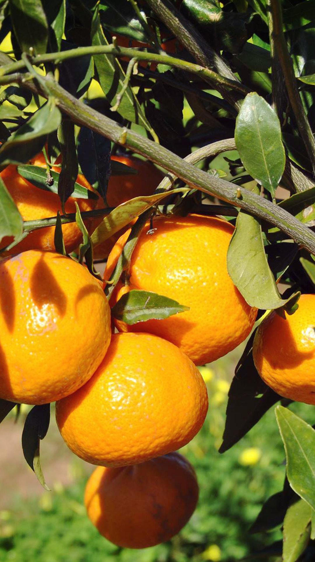 Tardivo mandarin from Ciaculli