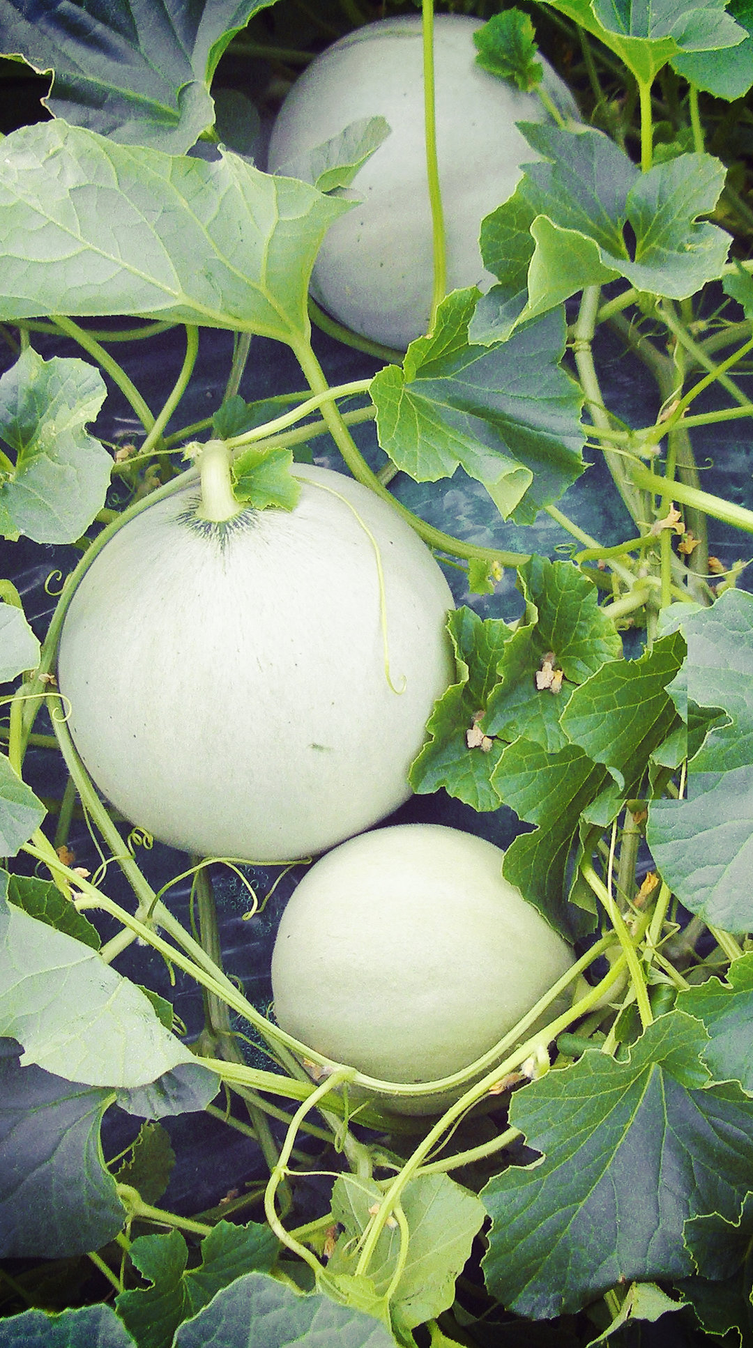 Melon of Mantua IGP
