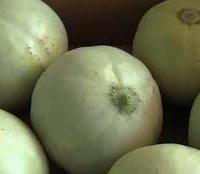 Melone mantovano IGP-img-0