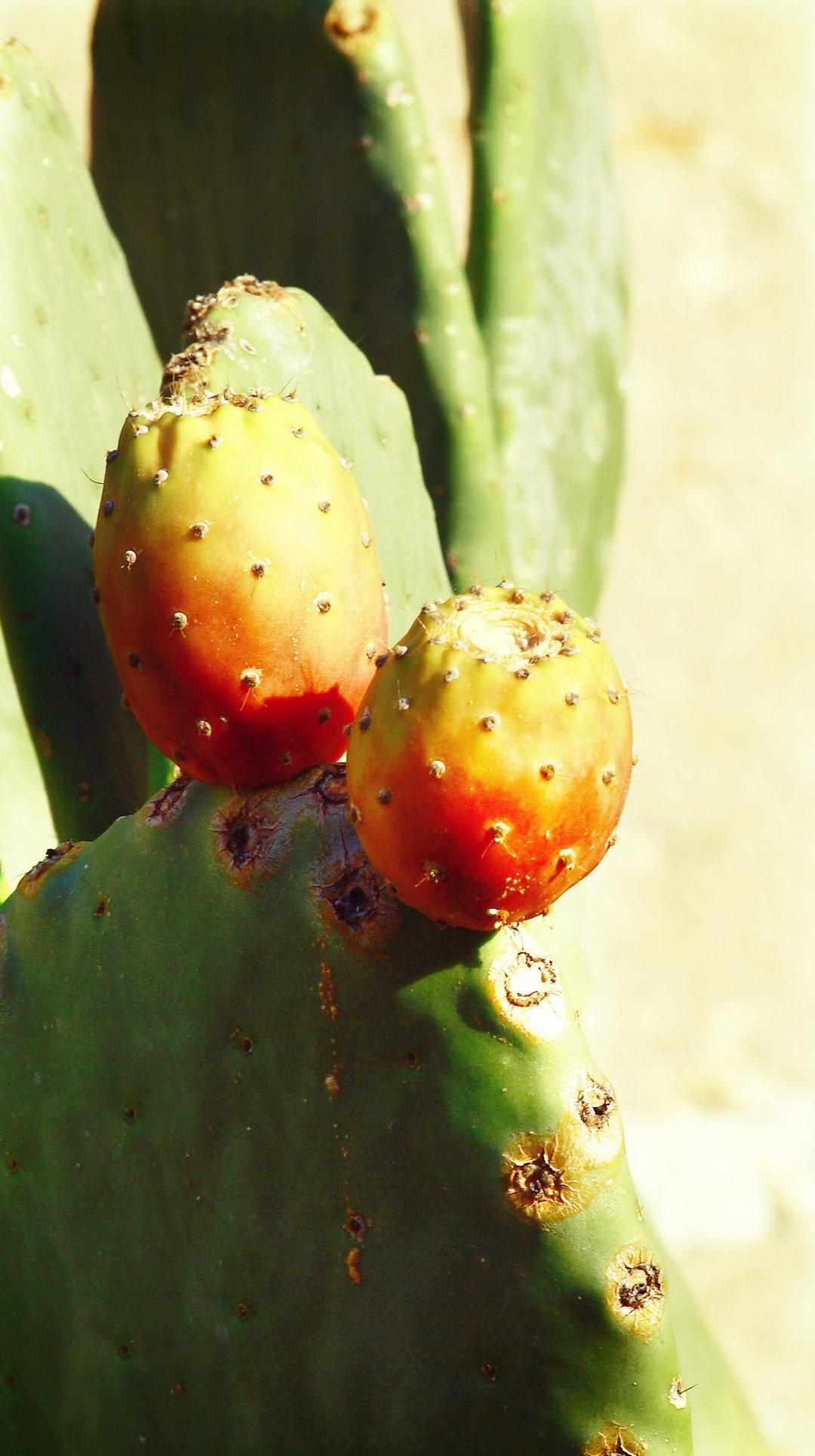 Etna prickly pear DOP