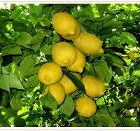 Limone di Sorrento IGP-img-5