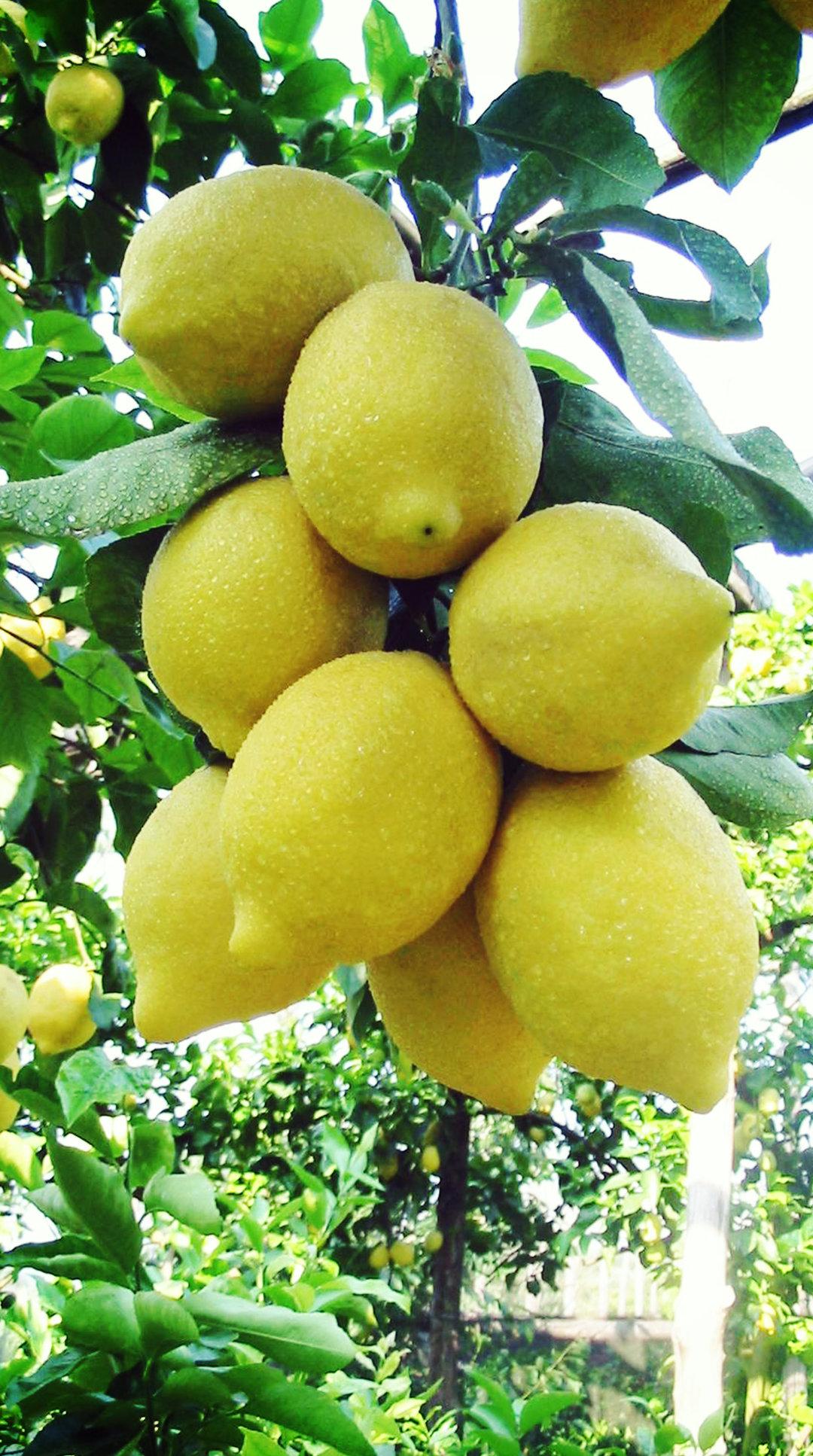 IGP Sorrento lemon