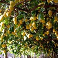 Limone di Sorrento IGP-img-11