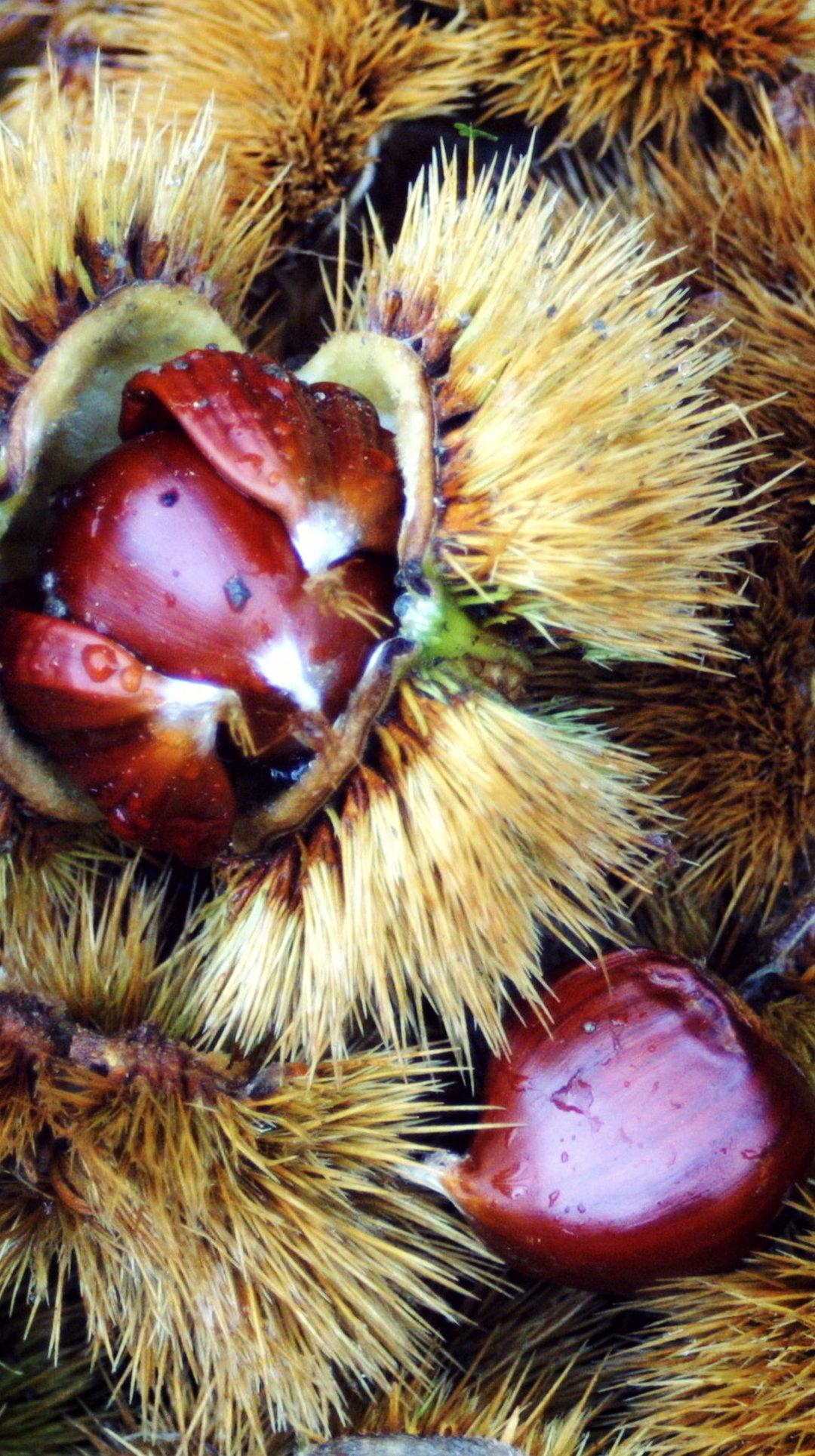 Mugello Chestnut