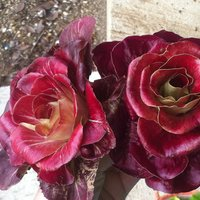Rosa di Gorizia-img-3
