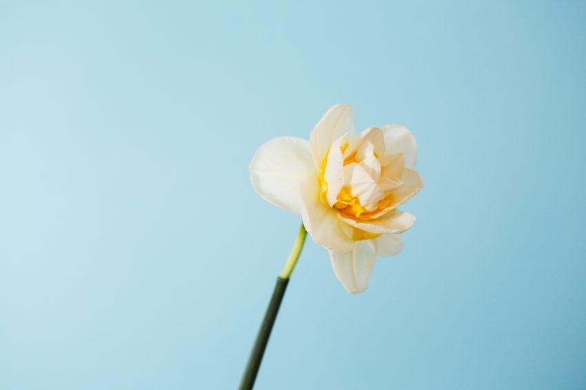 1 Floom April Shoot Daffodil 1
