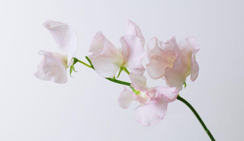 1 Floom Magazine Flower Of The Week Sweet Pea 1
