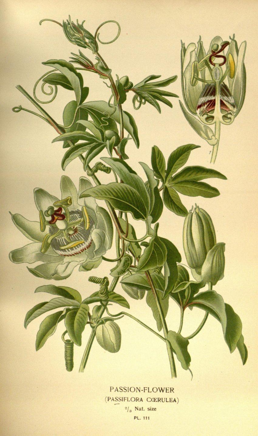 1 Floom Magazine Herbal Help Passion Flowers Passiflora Illustration 1