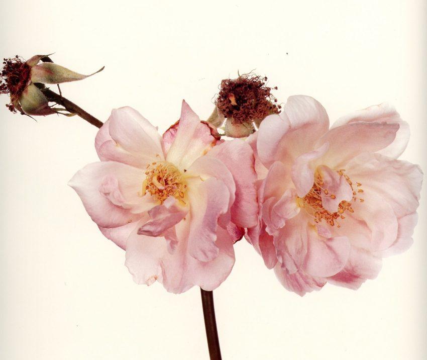 1 Floom Magazine Irving Penn Flower 3
