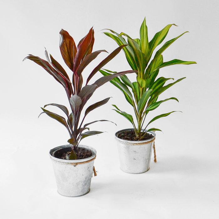 Floom Plantology Cordyline Galavanised 1