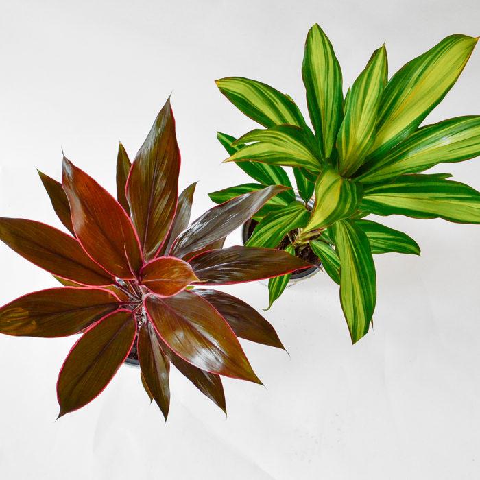 Floom Plantology Cordyline Galavanised 2