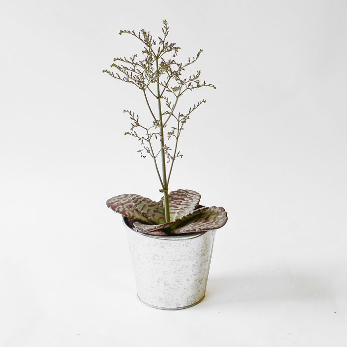 Floom Plantology Kalanchoe Humilis Desertsurprise Galvansied 1