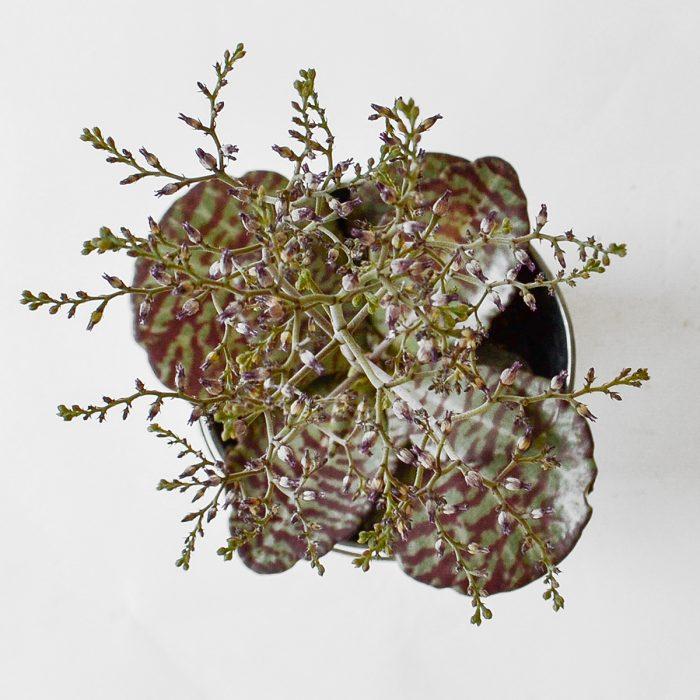 Floom Plantology Kalanchoe Humilis Desertsurprise Galvansied 2