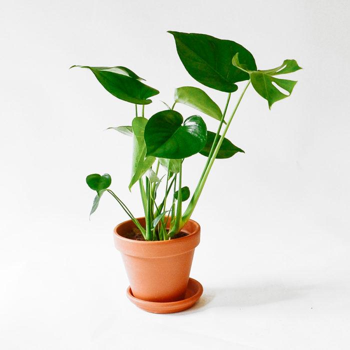 Floom Plantology Monstera Terracotta 1