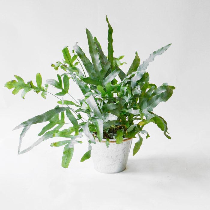 Floom Plantology Phlebodium Bluestarfern Galavanised 1