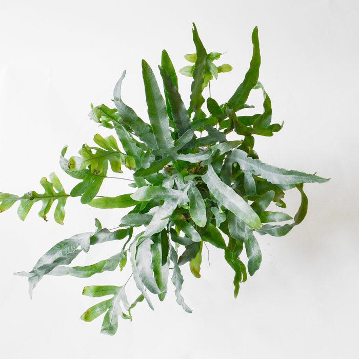 Floom Plantology Phlebodium Bluestarfern Galavanised 2