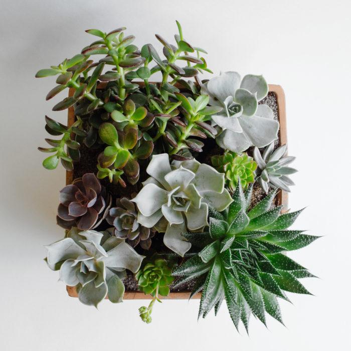 Floom Herbert Isles Succulent 2