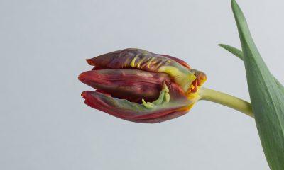 1 Floom Magazine Flower Of The Week Parrot Tulip 1