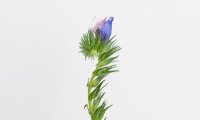 1 Floom Magazine Flower Of The Week Echium Vulgare Ls