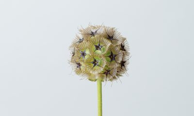 1 Floom Magazine Flower Of The Week Scabious Pod 1