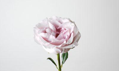 1 Floom Magazine Flower Of The Week Secret Garden Rose 1