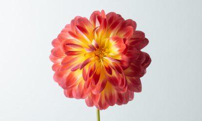 Floom Flower Of The Week Dahlia Karma Bon Bini Ls