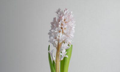 Floom Flower Of The Week Hyacinth Ls