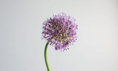 Floom Fotw Allium Ls