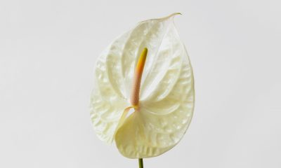 Floom Fotw Anthurium Ls