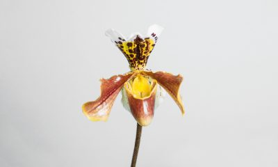 Floom Fotw Slipper Orchid Ls
